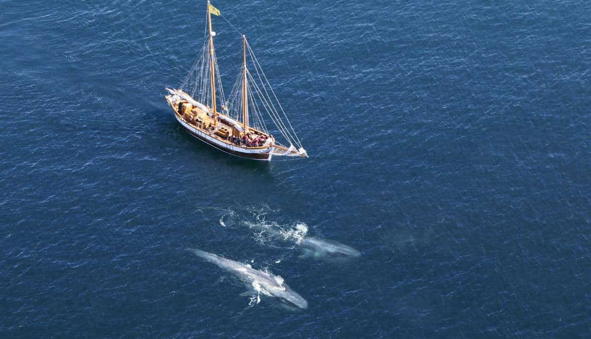 Blue whales alongside Icelandic schooner Hildur. Photo from North Sailing