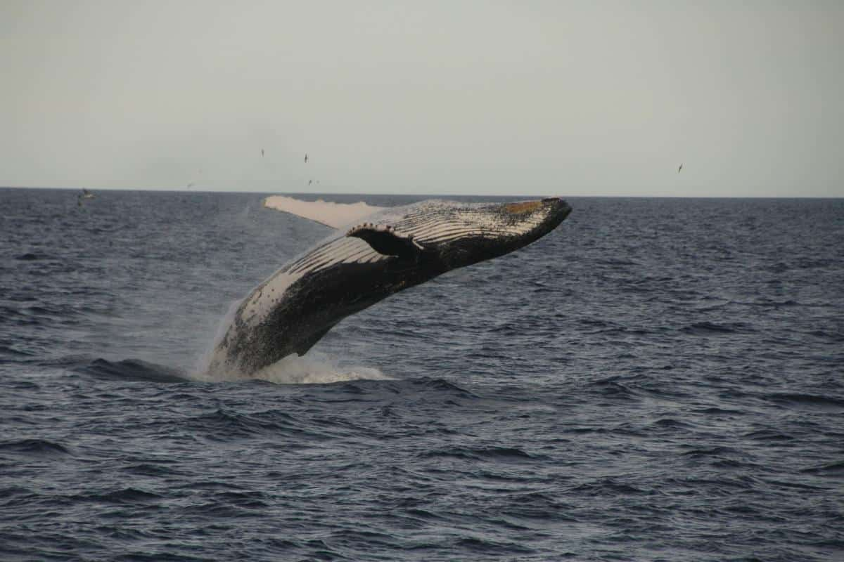 Humpback whale doing a backflip. Photo Debbie Purser