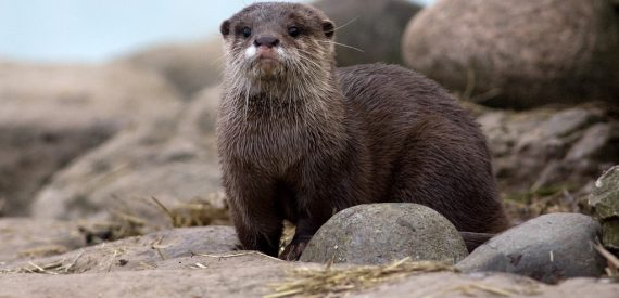 Otters in Scotland are very shy