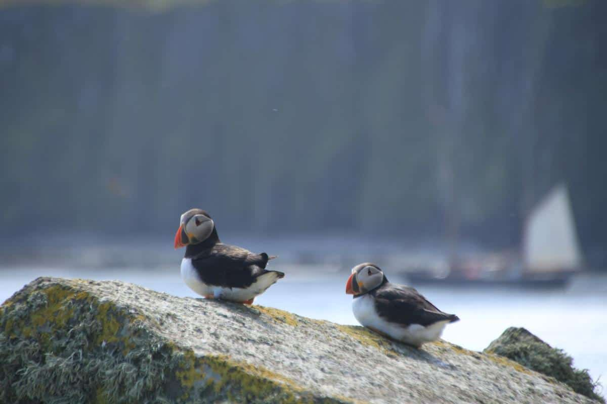Puffins on the Shiant Islands in NW Scotland