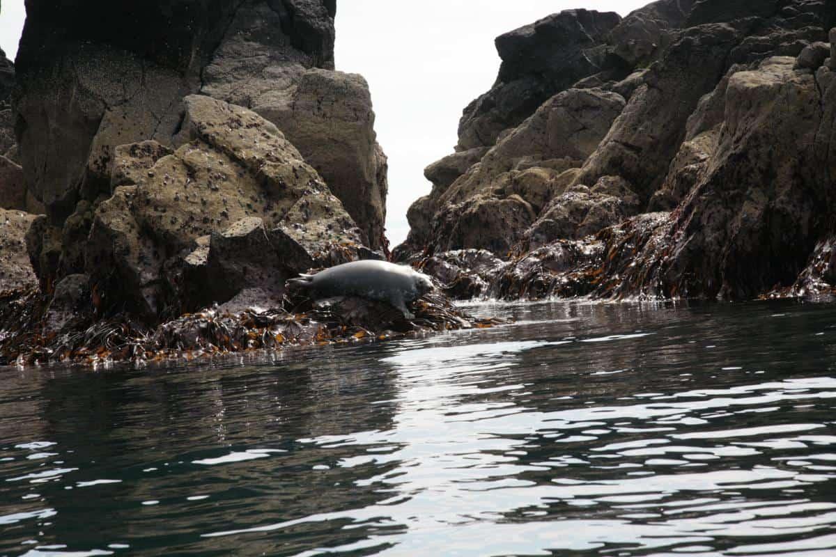 Photo by Gordon Hudson - seals on St Kilda