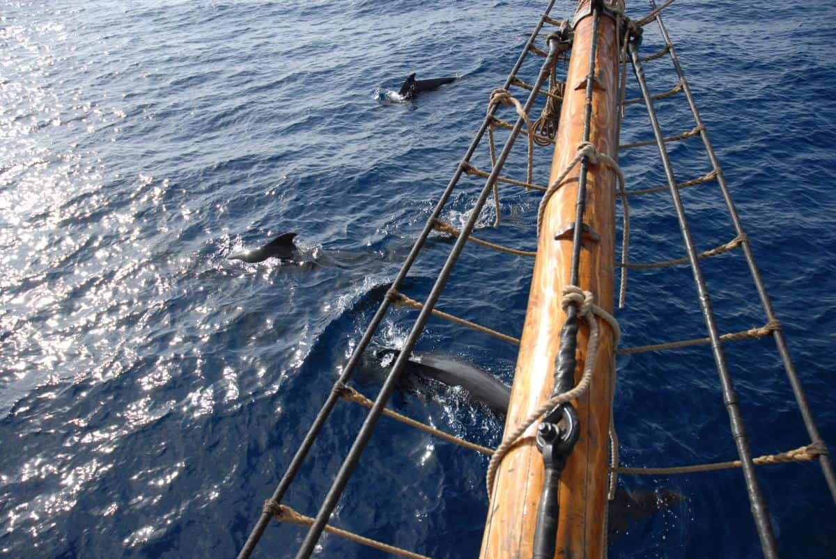 Pilot Whales by Volker