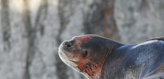 bloody leopard seal