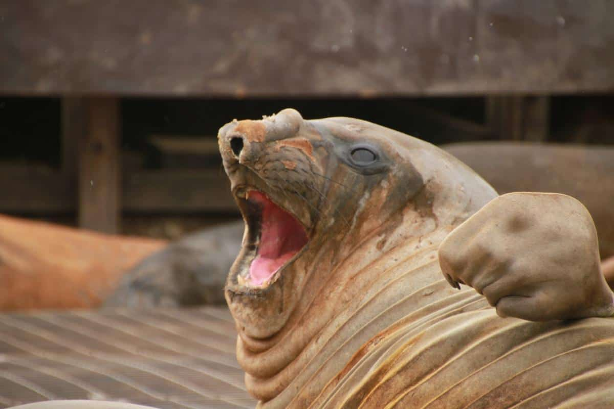 Elephant Seal not at all bothered by living outside a BAS scientific base on South Orkney