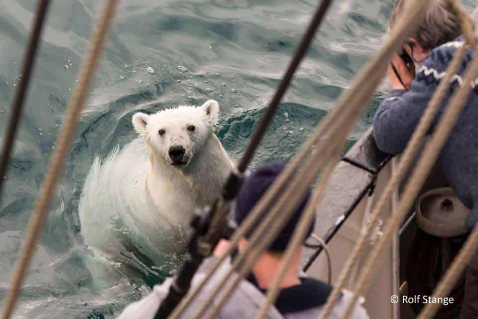 """""""Polar Bear Beside Tall Ship Antigua"""""""