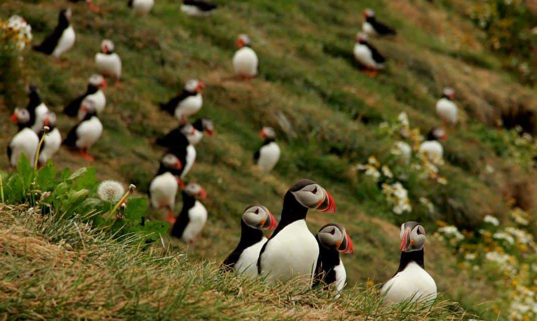 Puffin colony in Iceland