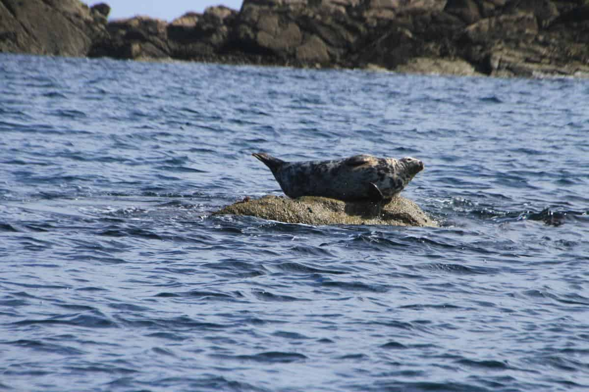 The Isles of Scilly Grey Seal