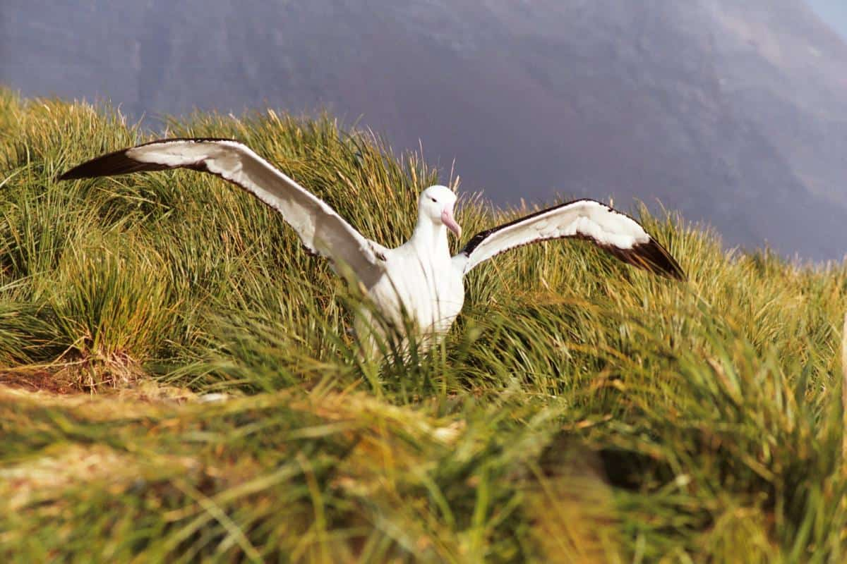 South Georgia - Albatrosses nesting on Prion Island. Photo Debbie Purser