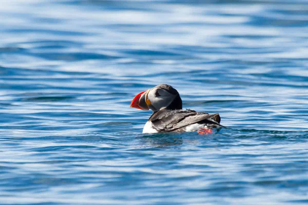 Photo by Tecla guest Maria Cerrudo from Spain. Puffins in the Shiant Islands, Faroes and Iceland