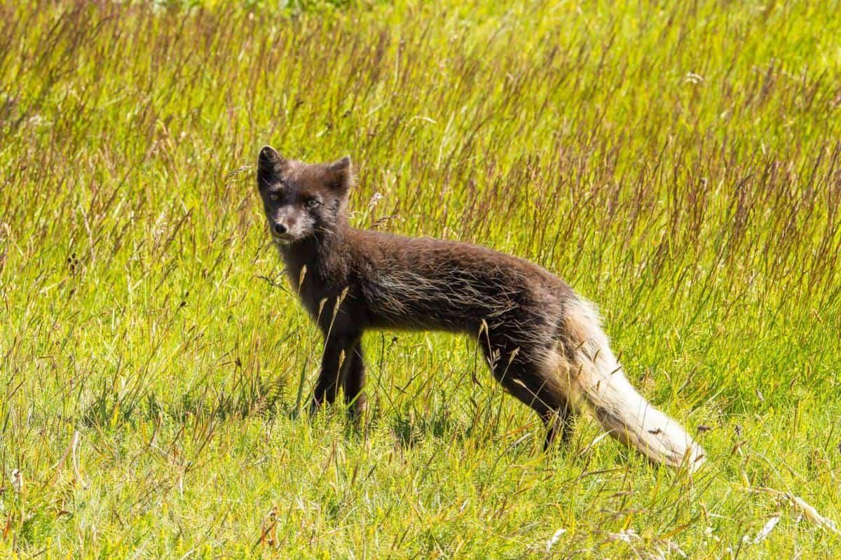 Arctic Fox my Maria Cerrudo