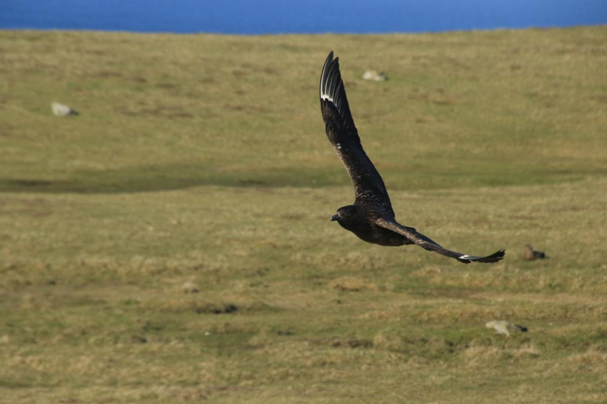 Incoming. Skuas are notorious for dive bombing
