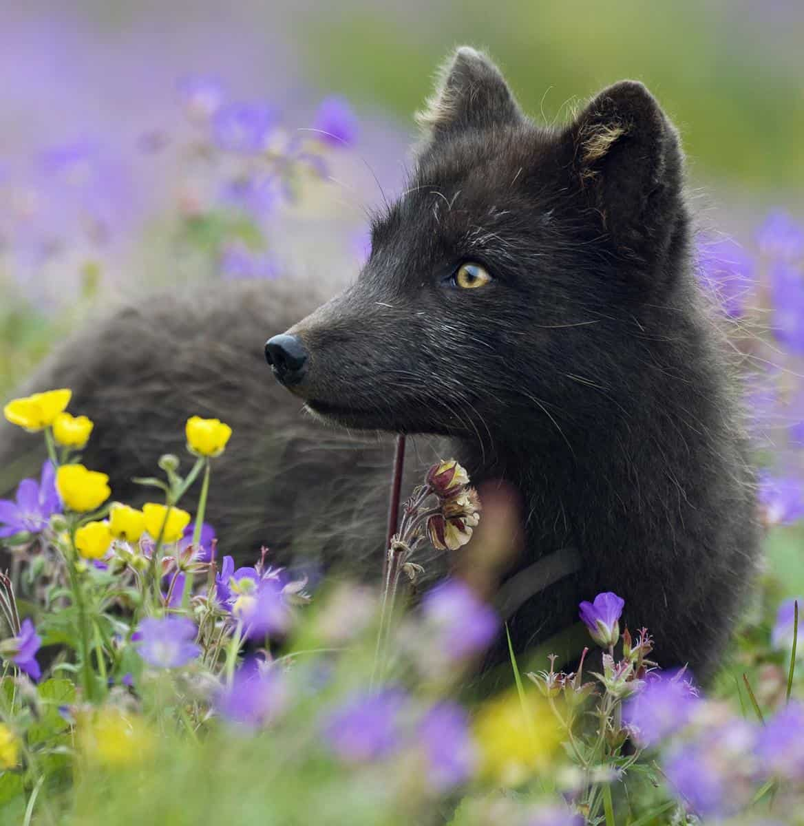 arctic fox in the North West Fjords of Iceland