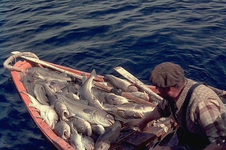 cod in a dory from schooner Santa Maria Manuela