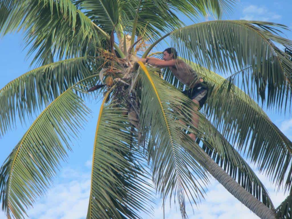climbing palm trees is not as easy as it looks
