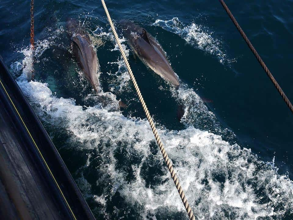 On a short break the chances of seeing Dolphins along the bow are greatly increased.
