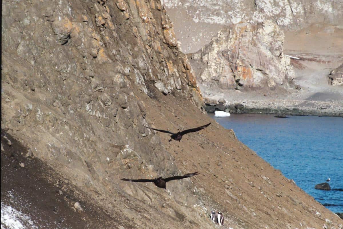 skua cruising for eggs in South Shetland Penguin colonies