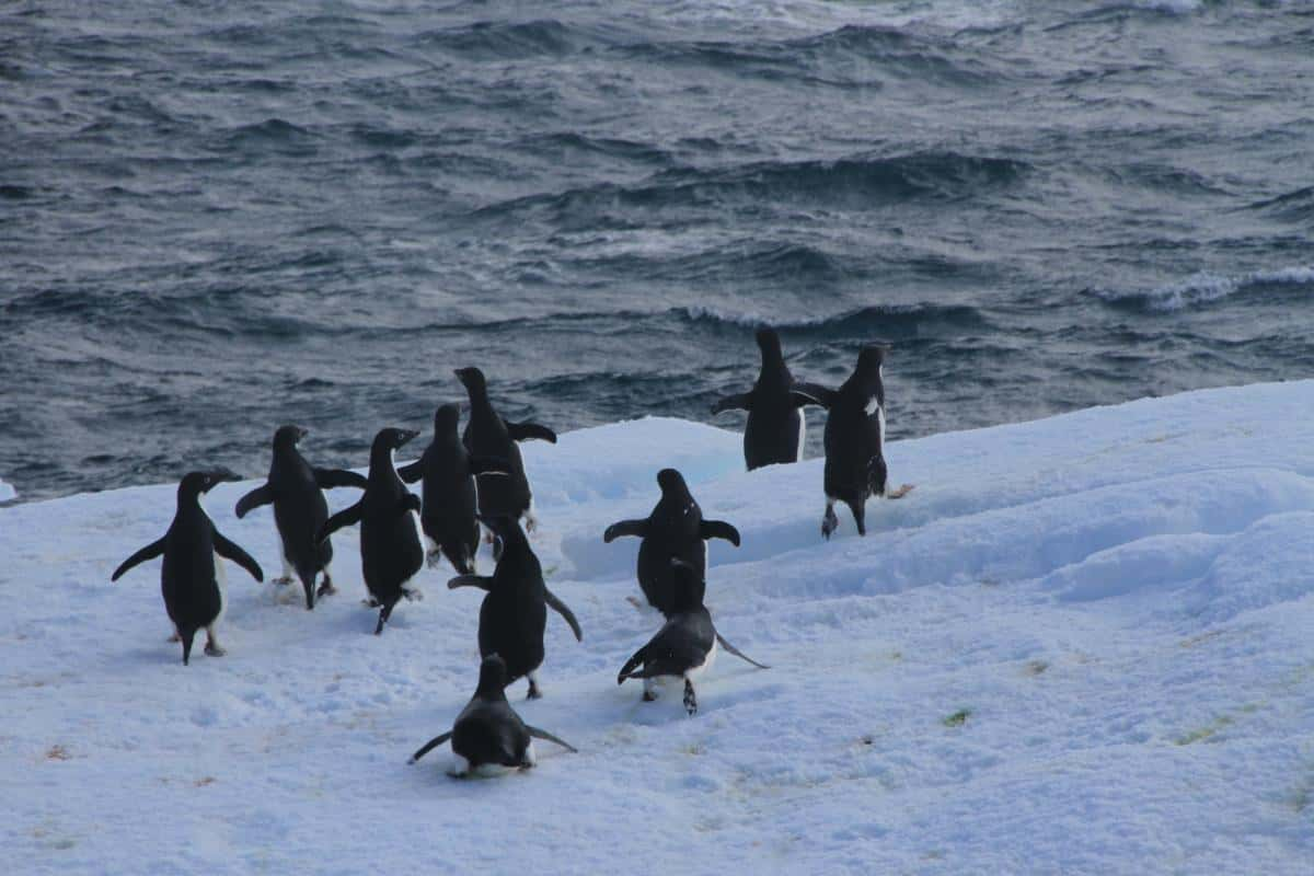 Adelie Penguins making a run for it as a tall ship comes through at 6 knots.