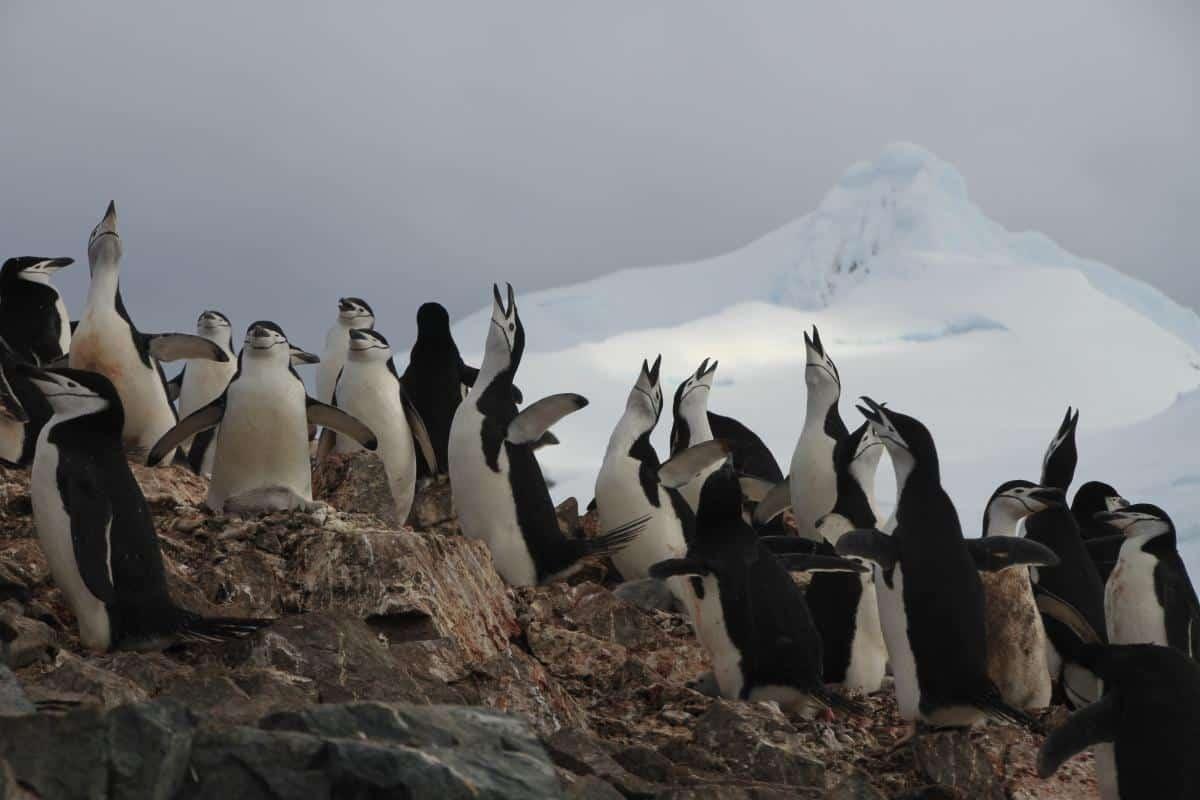 Chinstrap Penguins in South Shetland