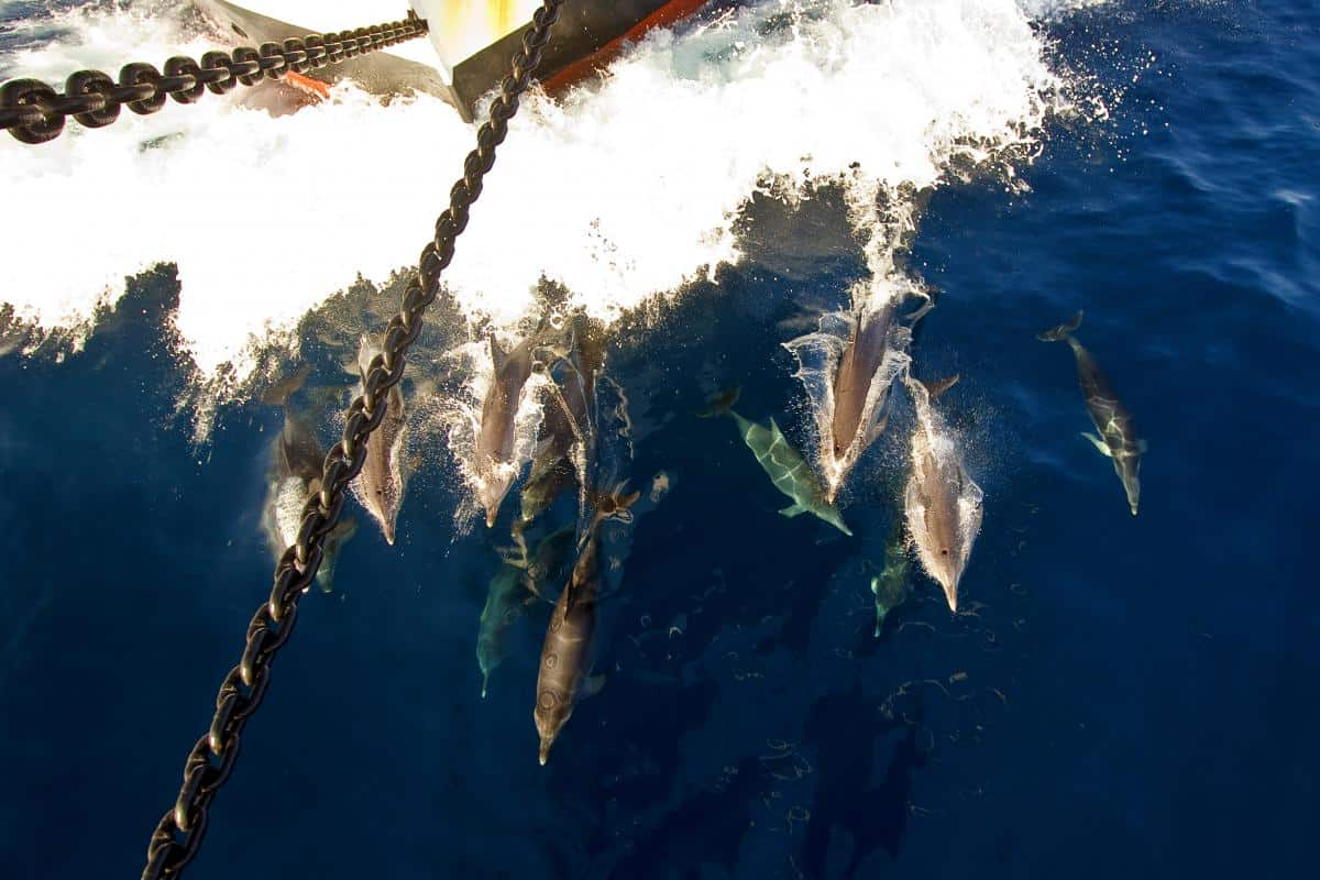 dolphins in our bow wave. Oosterschelde in Cape Verde