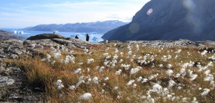 cotton grass and trekking in greenland