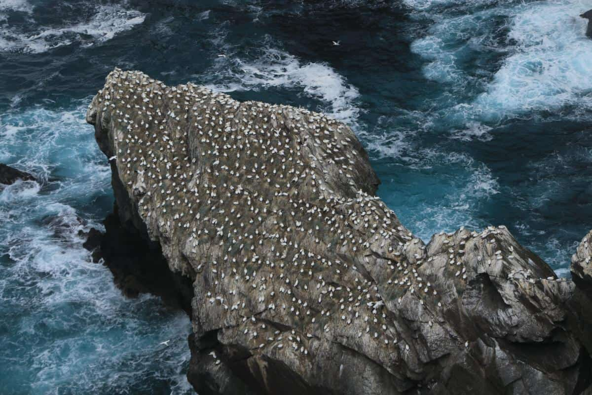 Gannets by the thousands on Shetland