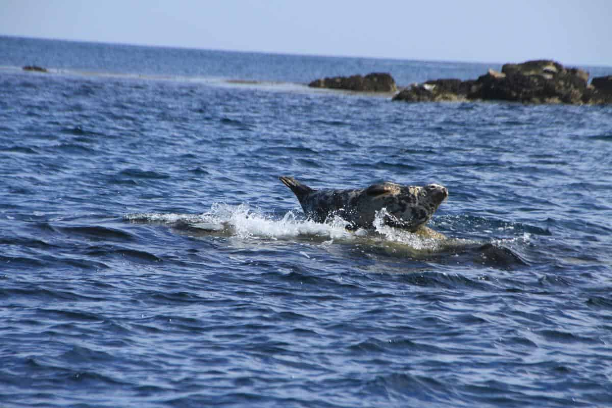 Western Grey seals are common