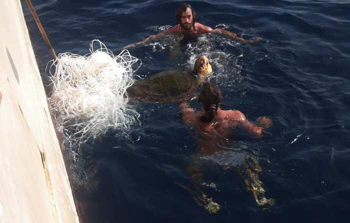 A turtle rescue on another tall ship - shows how big they can be