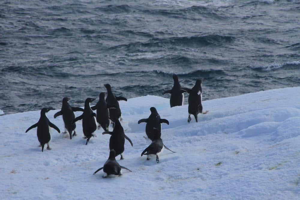 Scaring the penguins with 300 ton sailing ship