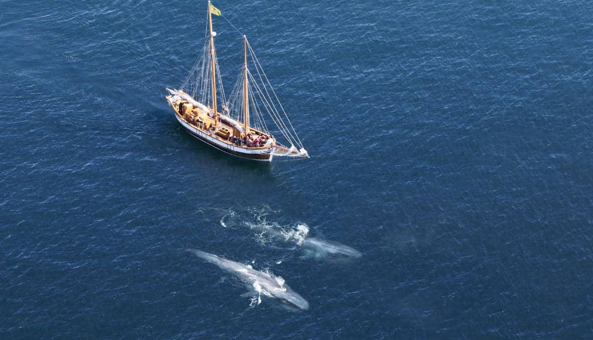 Blue whales viewed alongside Hildur