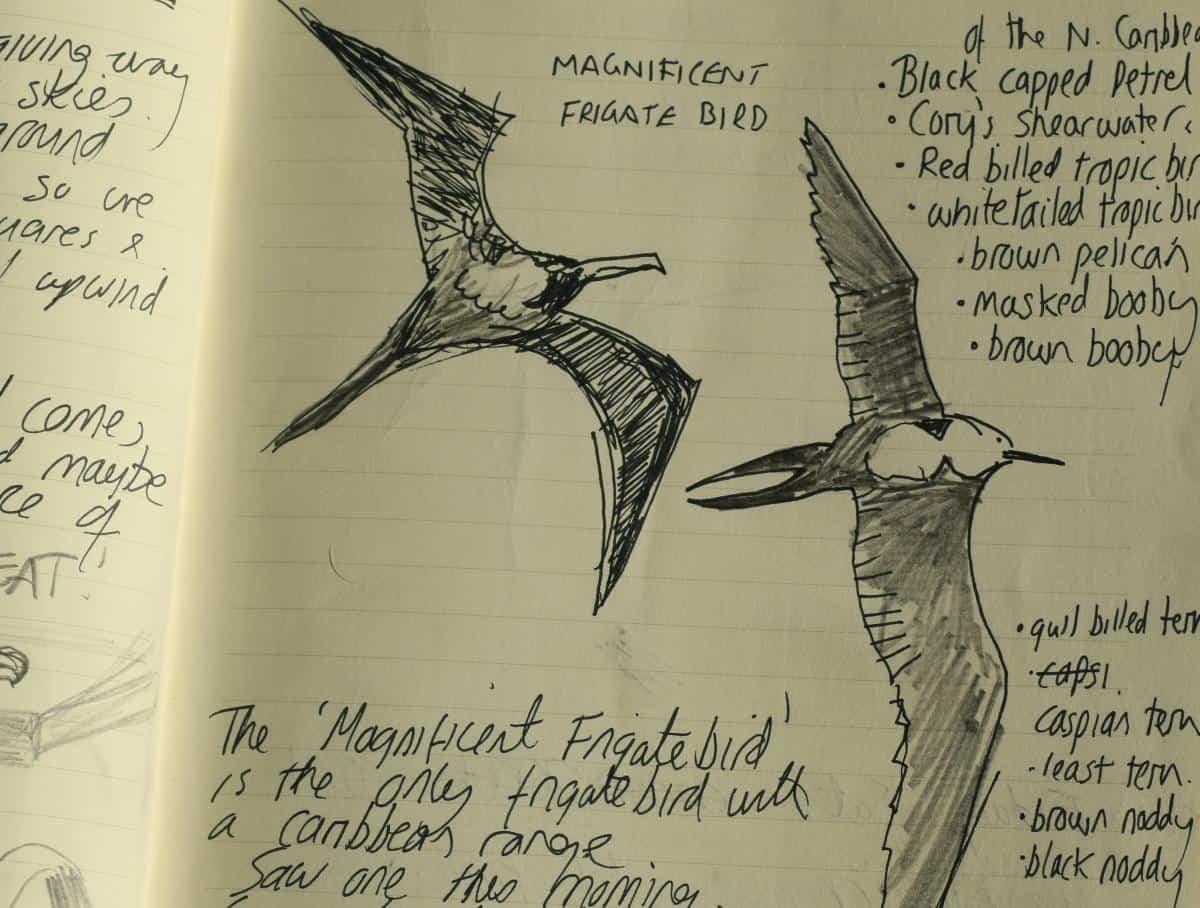 'Magnificent frigate bird' sketch