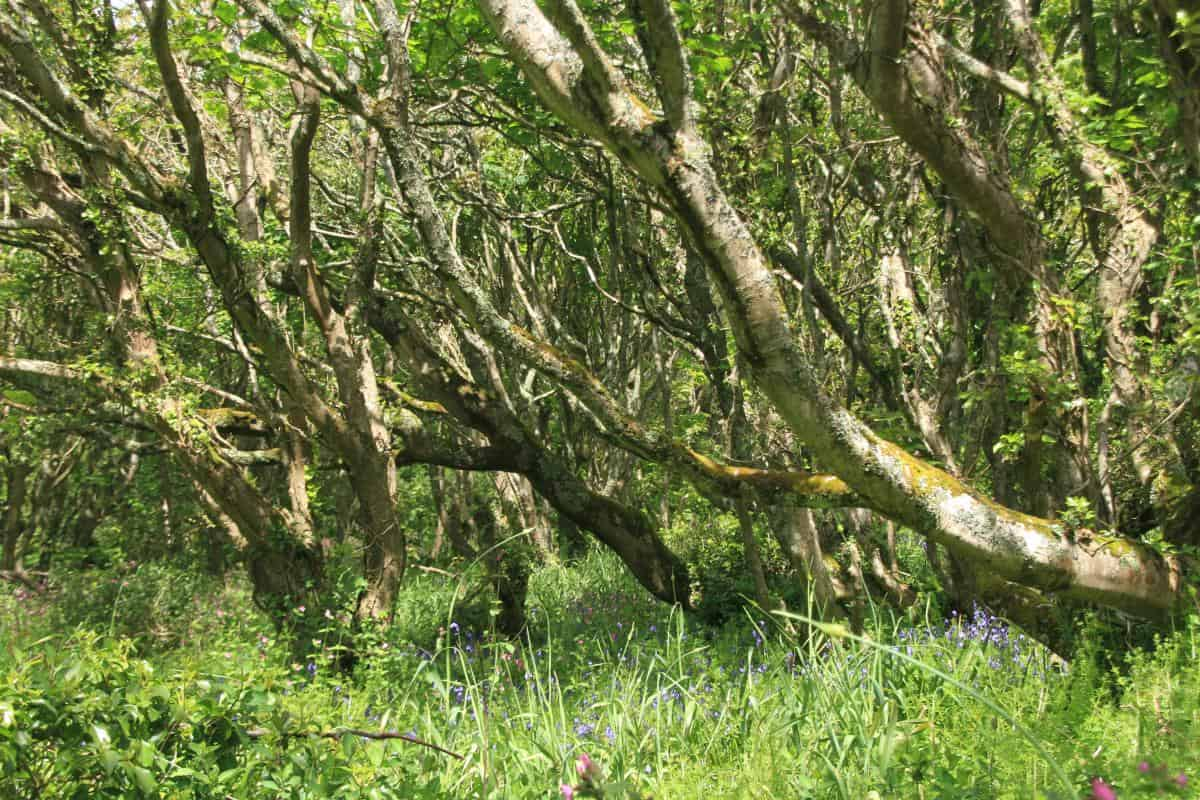 bluebell woods in the Helford countryside