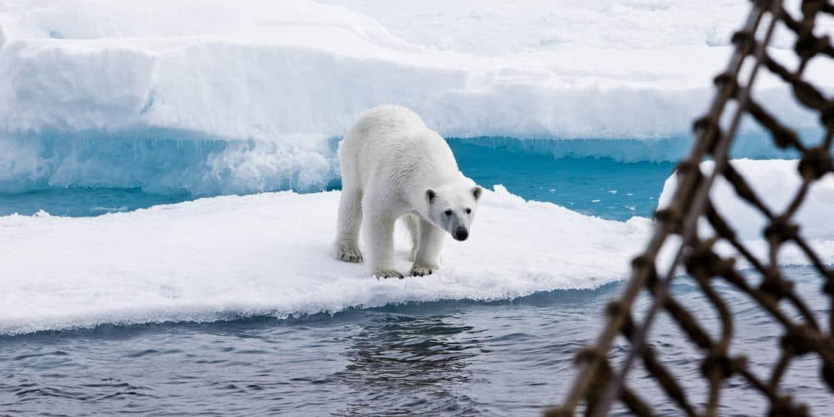 Polar Bear from Tall Ship Antigua